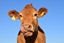 headshot of a cow